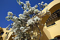 Flowers at the hotel, El Gouna 2012.jpg