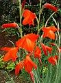 Flowers of Gladiolus.jpg