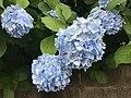 Flowers of Hydrangea macrophylla 20200614.jpg