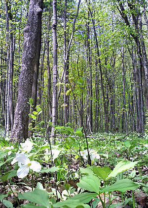Mixed Wood Plains Ecozone (CEC) - A representative stand of deciduous forest typical of this ecoregion.
