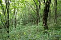 Forest in Mt.Bandai 08.jpg