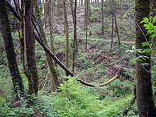A dead tree in a forest has fallen against other trees. Its long trunk has assumed a bow shape.