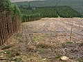 Forestry clear fell near Wester Cleuch - geograph.org.uk - 556572.jpg