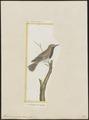Formicivora grisea - 1700-1880 - Print - Iconographia Zoologica - Special Collections University of Amsterdam - UBA01 IZ16400347.tif