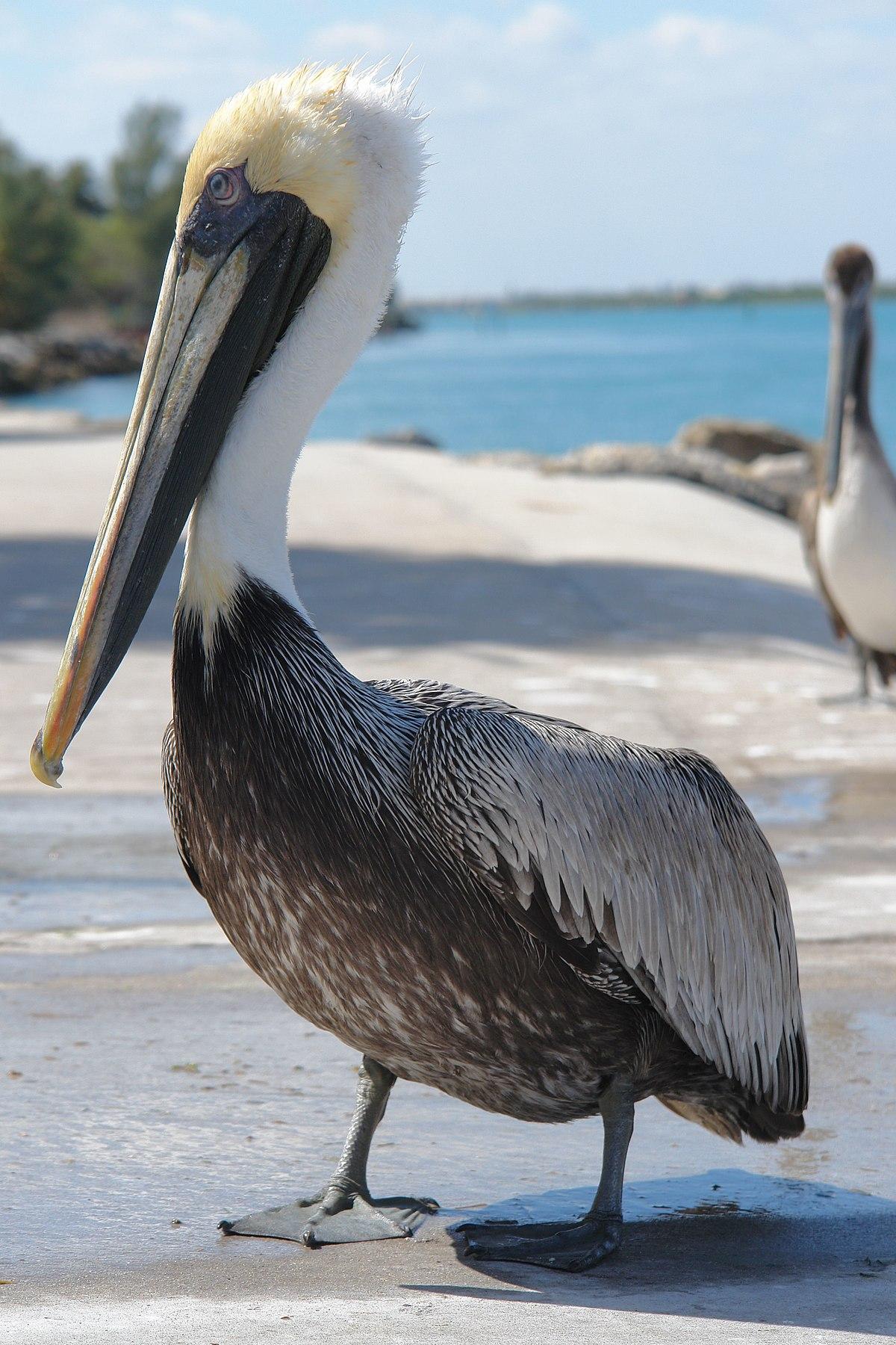 Pelecanus occidentalis carolinensis wikipedia la - Fotos de pelicanos ...