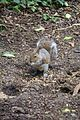 Fountains Abbey 2016 003 - Squirrel.jpg