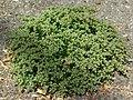 Four Leaf Allseed (988508027).jpg
