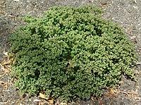 P. tetraphyllum, tusenfrö