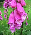 Foxgloves - geograph.org.uk - 476391.jpg