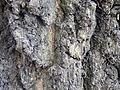 Fraxinus angustifolia (8).JPG