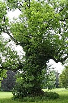 Fraxinus excelsior em Houyet, na Bélgica