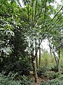 Fraxinus malacophylla - Kunming Botanical Garden - DSC02965.JPG