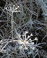 Frost on cow parsley and grass.jpg