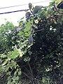 Fruit of Momordica charantia 20200904.jpg