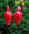 Fuchsia 'Jubie-Lin' 01.jpg