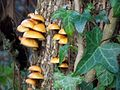 Fungus and Ivy - geograph.org.uk - 665239.jpg