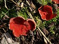 Fungus near Brownstone - geograph.org.uk - 1168211.jpg