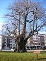 Göttingen Gerichtslinde Groner Landstrasse.jpg