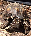 GH - Wilson the Box Turtle (27647870413).jpg