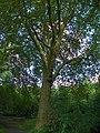 GOC Walthamstow to Stratford 133 London Plane (Platanus × acerifolia) (25465605396).jpg