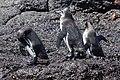 Galapagos Penguin (32833351717).jpg