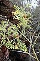 Galapagos tomato in fruit (Solanum galapagense).jpg