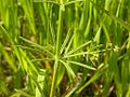 Galium aparine whorled leaves (3477934047).jpg