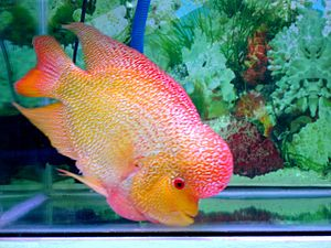 Flowerhorn cichlid - Wikipedia