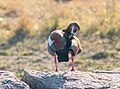 Ganso egipcio (Alopochen aegyptiacus), parque nacional Kruger, Sudáfrica, 2018-07-26, DD 14.jpg