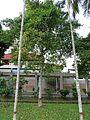 Garcinia mangostana (Mangosteen) tree in RDA, Bogra 01.jpg