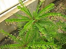 Phyllanthus - Chi Phyllanthus 220px Gardenology