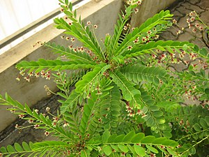 Phyllanthus - Plagiotropic shoots of Phyllanthus pulcher