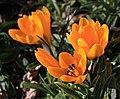 Gelbe Krokusse IMG 0969WI.jpg