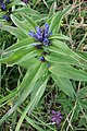 Gentiana cruciata, familija Gentianaceae 05.jpg