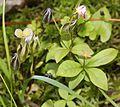 Gentiana thunbergii var. minor and Lysimachia europaea.JPG