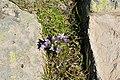 Genzianella austriaca sun Resciesa Gherdeina 2.JPG