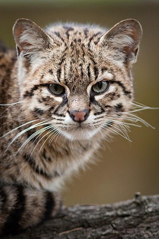 Geoffroy S Cat Kitten Cry Video