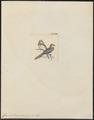 Geopelia tranquilla - 1820-1860 - Print - Iconographia Zoologica - Special Collections University of Amsterdam - UBA01 IZ15600359.tif