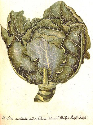 Georg Dionysius Ehret - Brassica capitata by Georg Dionysius Ehret