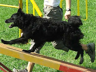 Croatian Sheepdog - A Croatian Sheepdog doing dog agility
