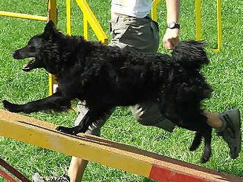 Croatian Sheepdog Mawlch Gera - on agility