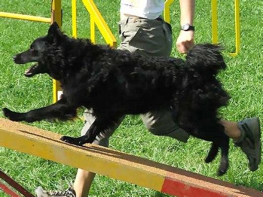 Goede Kroatische herder - Wikiwand SY-77