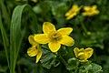 Gewone Dotterbloem - Caltha palustris (34462951942).jpg