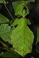 Giant Leaf Insect (Phyllium giganteum) (8758278704).jpg