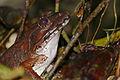 Giant River Frog (Limnonectes leporinus) (23554616516).jpg