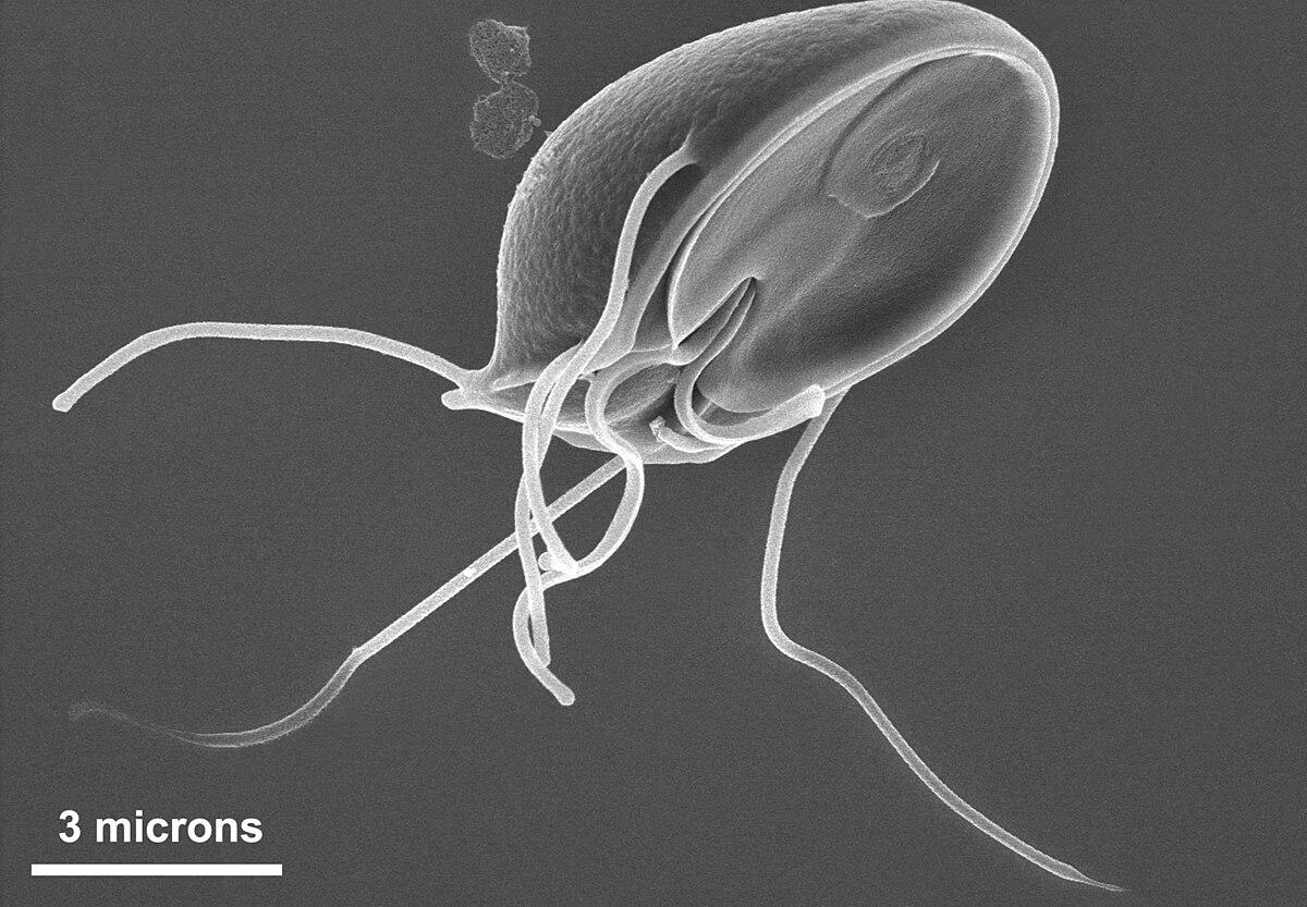 Giardia muris trophozoite SEM 11643.jpg