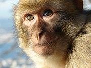 Μαϊμού του Γιβραλτάρ, γνωστή και ως αναδιοργάνωση της ΕΦΕΕ.  Η φωτογραφία είναι από τη Wikipedia.