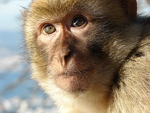Barbary macaque - Closeup of the face of a juvenile