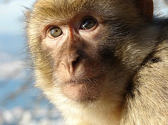 Barbary macaques in Gibraltar - This young Barbary macaque is part of a group of 25 to 70 individuals from several different monkey families in Gibraltar.