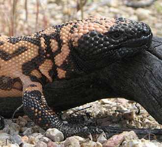 Gila monster - Head with bead-like scales and strong forelegs and claws suitable for digging